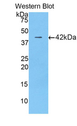 Western blot of recombinant LF / LTF / Lactoferrin.  This image was taken for the unconjugated form of this product. Other forms have not been tested.