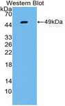 Western blot of recombinant LGALS13 / Galectin 13.