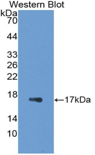 Western blot of recombinant GAL7 / Galectin 7.