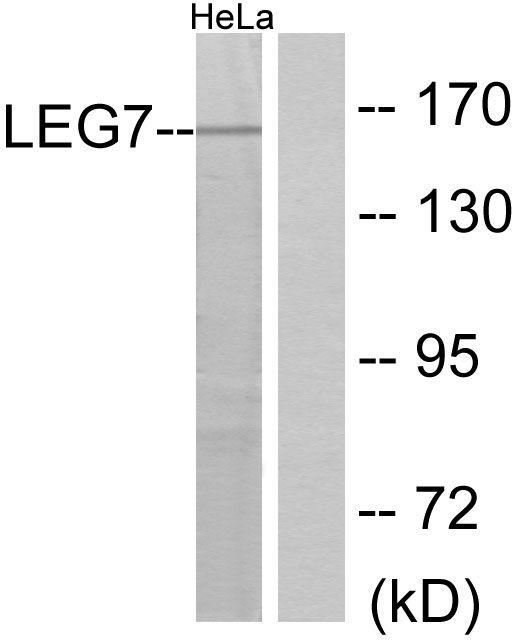 Western blot analysis of lysates from HeLa cells, using LEG7 Antibody. The lane on the right is blocked with the synthesized peptide.