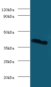 Western blot of Galectin-9 antibody at 2 ug/ml with mouse heart tissue. Secondary: Goat polyclonal to Rabbit IgG at 1:15000 dilution. Predicted band size: 40 KDa. Observed band size: 40 KDa.  This image was taken for the unconjugated form of this product. Other forms have not been tested.