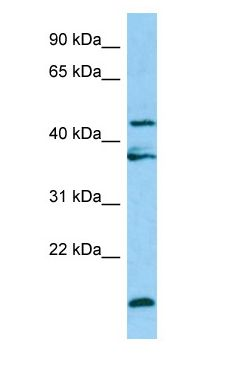 LGMN / Legumain antibody Western Blot of HepG2.  This image was taken for the unconjugated form of this product. Other forms have not been tested.