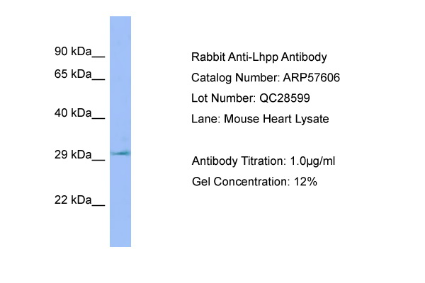 LHPP Antibody -  This image was taken for the unconjugated form of this product. Other forms have not been tested.