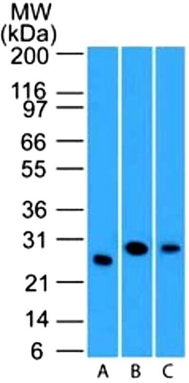 Western Blot: LIF Antibody (39N7D10) - WB validation of LIF antibody (clone 39N7D10) on (A) full-length recombinant Lif protein, (B) mouse spleen lysate and human spleen lysate. 3 ug/ml concentration of primary antibody, Goat anti-rat Ig HRP secondary antibody and PicoTect ECL substrate solution were used for this assay.  This image was taken for the unconjugated form of this product. Other forms have not been tested.