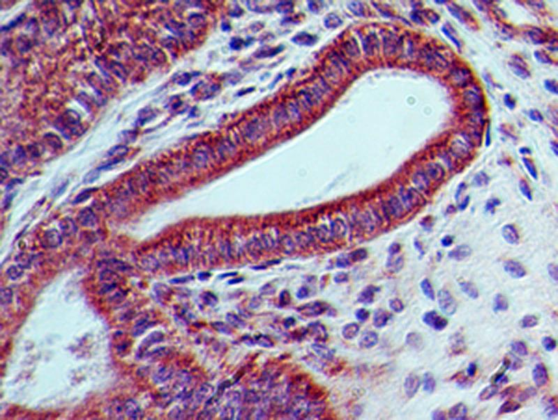 Immunohistochemistry-Paraffin: LIF Antibody (39N7D10) - IHC analysis of formalin-fixed paraffin-embedded tissue section of mouse colon using 5 ug/ml concentration of LIF antibody (clone 39N7D10). The columnar epithelial cells of the crypts developed intense membrane-cytoplasmic LIF immunostaining. Additionally, some cells in the lamina propria and the sub-mucosal layer also depicted weak positivity for LIF staining.  This image was taken for the unconjugated form of this product. Other forms have not been tested.
