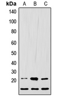 Western blot analysis of LIF expression in HEK293T (A); Raw264.7 (B); H9C2 (C) whole cell lysates.