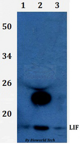 Western blot of LIF antibody at 1:500 dilution. Lane 1: HEK293T whole cell lysate. Lane 2: RAW264.7 whole cell lysate.