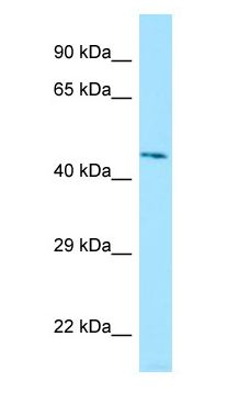 LILRA3 antibody Western Blot of Human Kidney.  This image was taken for the unconjugated form of this product. Other forms have not been tested.