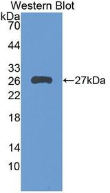 LILRB3 Antibody - Western Blot; Sample: Recombinant protein.