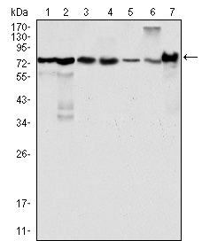 WB using LPP Antibody (8B3A11)
