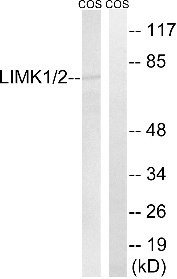 Western blot analysis of lysates from COS7 cells, using LIMK1/2 Antibody. The lane on the right is blocked with the synthesized peptide.