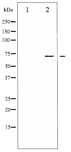 Western blot of LIMK1/2 phosphorylation expression in HeLa whole cell lysates,The lane on the left is treated with the antigen-specific peptide.