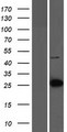 LIN7C / VELI3 Protein - Western validation with an anti-DDK antibody * L: Control HEK293 lysate R: Over-expression lysate