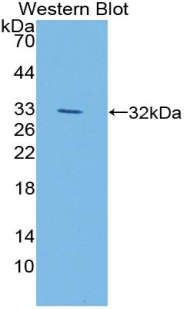 Western blot of recombinant LIPG / Endothelial Lipase.