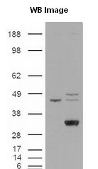 LIPG / Endothelial Lipase Antibody - Human endothelial lipase detected in transfected 293 lysates (MW 57 kDa).  This image was taken for the unconjugated form of this product. Other forms have not been tested.