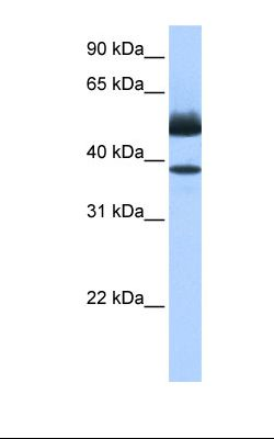 Fetal heart cell lysate. Antibody concentration: 0.5 ug/ml. Gel concentration: 12%.  This image was taken for the unconjugated form of this product. Other forms have not been tested.