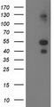 HEK293T cells were transfected with the pCMV6-ENTRY control (Left lane) or pCMV6-ENTRY LMCD1 (Right lane) cDNA for 48 hrs and lysed. Equivalent amounts of cell lysates (5 ug per lane) were separated by SDS-PAGE and immunoblotted with anti-LMCD1.