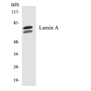Western blot analysis of the lysates from 293 cells using Lamin A antibody.