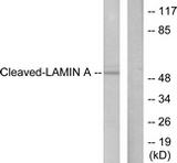 Western blot of extracts from NIH-3T3 cells, treated with Etoposide 25 uM 60', using Lamin A (Cleaved-Asp230) Antibody. The lane on the right is treated with the synthesized peptide.