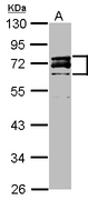 Sample (20 ug ). A: HeLa Nucleus. 10% SDS PAGE. LMNA / Lamin A/C antibody diluted at 1:3000.
