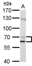 Lamin A/C antibody detects LMNA protein by Western blot analysis. A. 30 ug NIH-3T3 whole cell lysate/extract. 7.5 % SDS-PAGE. Lamin A/C antibody dilution:1:1000