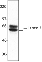Hela cell nuclear extracts were resolved by electrophoresis, transferred to nitrocellulose and probed with rabbit polyclonal anti-lamin A. Proteins were visualized using a donkey anti-rabbit secondary antibody conjugated to HRP and a chemiluminescence system.