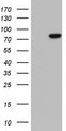 HEK293T cells were transfected with the pCMV6-ENTRY control (Left lane) or pCMV6-ENTRY LMNA (Right lane) cDNA for 48 hrs and lysed. Equivalent amounts of cell lysates (5 ug per lane) were separated by SDS-PAGE and immunoblotted with anti-LMNA.