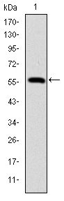 Western blot using LMNA monoclonal antibody against human LMNA (AA: 212-477) recombinant protein. (Expected MW is 56.3 kDa)