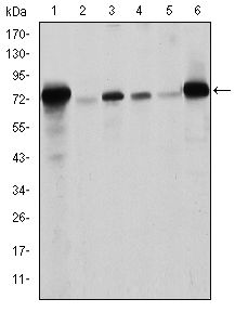 Western blot using LMNA mouse monoclonal antibody against Raw264.7 (1), PC-12 (2), THP-1 (3), A431 (4), MCF-7 (5) and Jurkat (6) cell lysate.