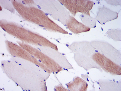 IHC of paraffin-embedded human striated muscle tissues using LMNA mouse monoclonal antibody with DAB staining.