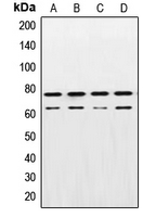 Western blot analysis of Lamin A/C expression in A431 (A); HeLa (B); NIH3T3 (C); PC12 (D) whole cell lysates.