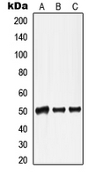 Western blot analysis of Lamin A/C expression in HepG2 colchicine-treated (A); mouse heart (B); rat heart (C) whole cell lysates.