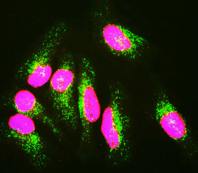 HeLa cells staining with LMNA / Lamin A/C antibody (red), and counterstained with 6E2 monoclonal antibody to Lysosomal Associated Membrane Protein 1 (Lamp1, green) and DNA (blue). The LMNA / Lamin A/C antibody antibody reveals strong nuclear lamina staining, while MCA-6E2 antibody reveals strong cytoplasmic punctate staining of lysosomes and early endosomes. Since both DNA (blue) and Lamin A/C (red) are associated with the nuclear compartment, this region appears crimson in this image.