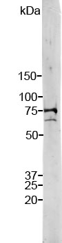 Stripe blot of crude HeLa cell extract stained with LMNA / Lamin A/C antibody. Note two strong and clean bands at 74kDa and 65kDa, corresponding to Lamin A and C.