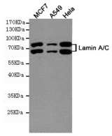 Western blot detection of Lamin A/C in MCF7, A549 and HeLa cell lysates using Lamin A/C mouse monoclonal antibody (1:1000 dilution). Predicted band size: 74, 63KDa. Observed band size:74, 63KDa.