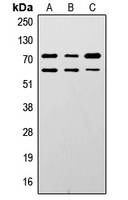 Western blot analysis of Lamin A/C expression in HepG2 (A); mouse brain (B); rat muscle (C) whole cell lysates.