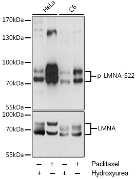 LMNA / Lamin A+C Antibody - Western blot analysis of extracts of various cell lines, using Phospho-LMNA-S22 antibody at 1:2000 dilution or LMNA antibody. HeLa cells were treated by Hydroxyurea (4 mM) at 37℃ for 20 hours or treated by Paclitaxel (100 nM/ml) at 37℃ for 20 hours. C6 cells were treated by Hydroxyurea (4 mM) at 37℃ for 20 hours or treated by Paclitaxel (100 nM) at 37℃ for 20 hours. The secondary antibody used was an HRP Goat Anti-Rabbit IgG (H+L) at 1:10000 dilution. Lysates were loaded 25ug per lane and 3% nonfat dry milk in TBST was used for blocking. Blocking buffer: 3% BSA.An ECL Kit was used for detection and the exposure time was 1s.