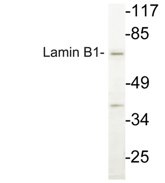 Western blot analysis of lysate from COLO cells, using Lamin B1 antibody.