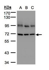 Sample (30 ug whole cell lysate). A: A431, B: H1299, C: HeLa S3. 7.5% SDS PAGE. Lamin B1 antibody diluted at 1:5000