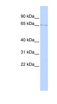 LMNB1 / Lamin B1 antibody Western blot of SK-MEL-2 cell lysate. This image was taken for the unconjugated form of this product. Other forms have not been tested.