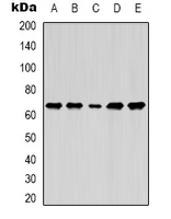 Western blot analysis of Lamin B1 expression in MCF7 (A); A549 (B); SKOV3 (C); mouse brain (D); mouse liver (E) whole cell lysates.