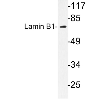 Western blot of Lamin B1 (L75) pAb in extracts from COLO cells.