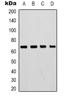 Western blot analysis of Lamin B1 expression in HepG2 (A); 293T (B); mouse brain (C); rat brain (D) whole cell lysates.