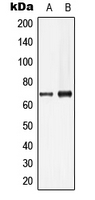 Western blot analysis of Lamin B1 expression in HeLa (A); HepG2 (B) whole cell lysates.