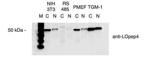 LOpep4 Antibody - Western blot on cytoplasmic (c) and nuclear (n) extracts of NIH 3T3, ras-transformed (RS 485), PMEF and TGM-1 mouse fibroblast cells.  This image was taken for the unconjugated form of this product. Other forms have not been tested.