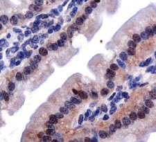 LOX propeptide Antibody - IHC of LOPP in mouse intestine.  This image was taken for the unconjugated form of this product. Other forms have not been tested.