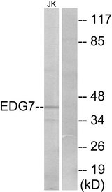 Western blot analysis of lysates from Jurkat cells, using EDG7 Antibody. The lane on the right is blocked with the synthesized peptide.