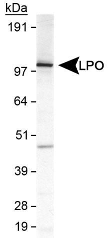 Detection of LPO in MDA-MB231 cell lysate.  This image was taken for the unconjugated form of this product. Other forms have not been tested.