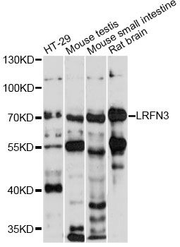 LRFN3 Antibody - Western blot analysis of extracts of various cell lines, using LRFN3 antibody at 1:1000 dilution. The secondary antibody used was an HRP Goat Anti-Rabbit IgG (H+L) at 1:10000 dilution. Lysates were loaded 25ug per lane and 3% nonfat dry milk in TBST was used for blocking. An ECL Kit was used for detection and the exposure time was 30s.