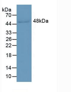 Western Blot; Sample: Human Serum.